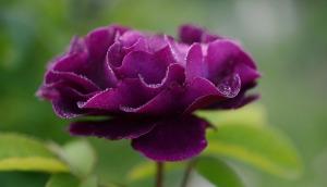 rose-144122_640